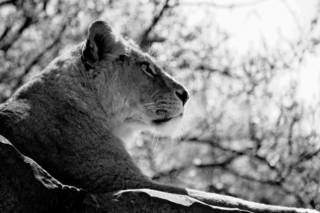 Lioness Black and White   Flickr - Photo Sharing!