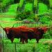 Greenvale Vineyard's pet Highland Steer