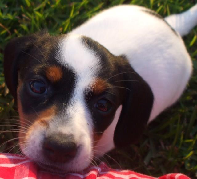 pup#6 extreme piebald dachshund female puppy black & tan parti-color ...