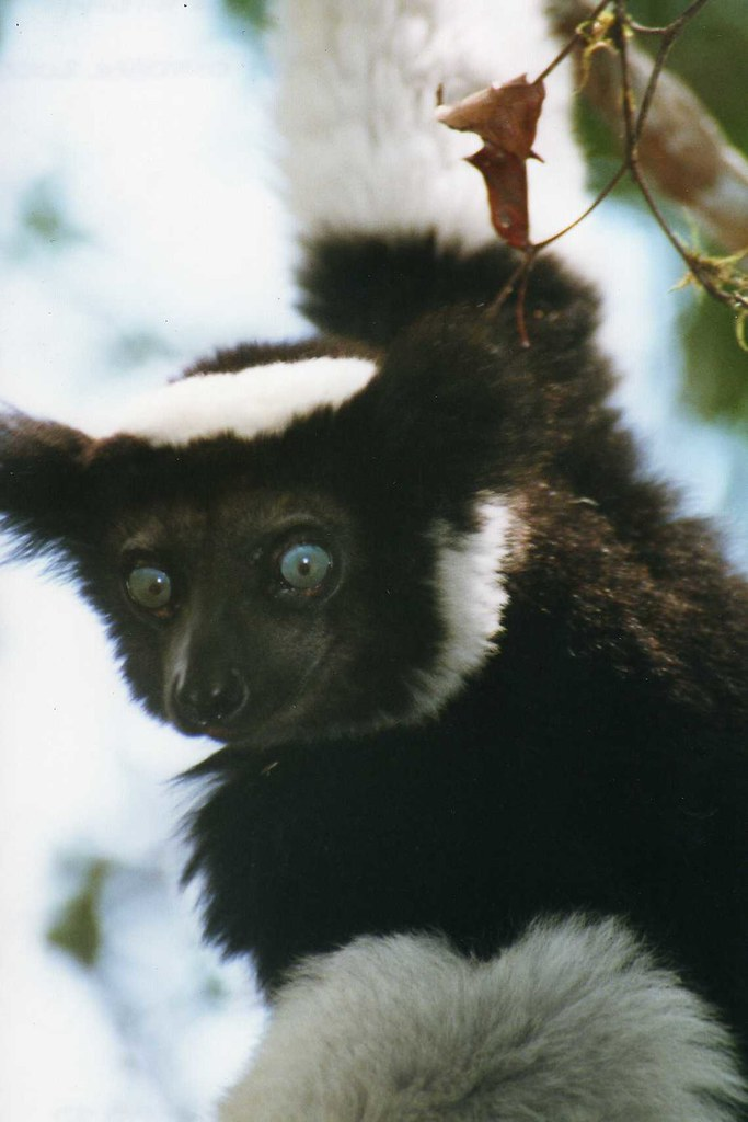 Indri Indri Quot Babakoto Quot Perinet Reserve From Wikipedia