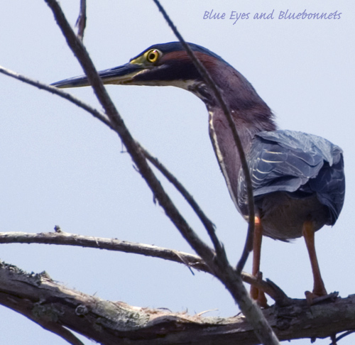 Green Heron | Shangri La Gardens | by Blue Eyes and Bluebonnets