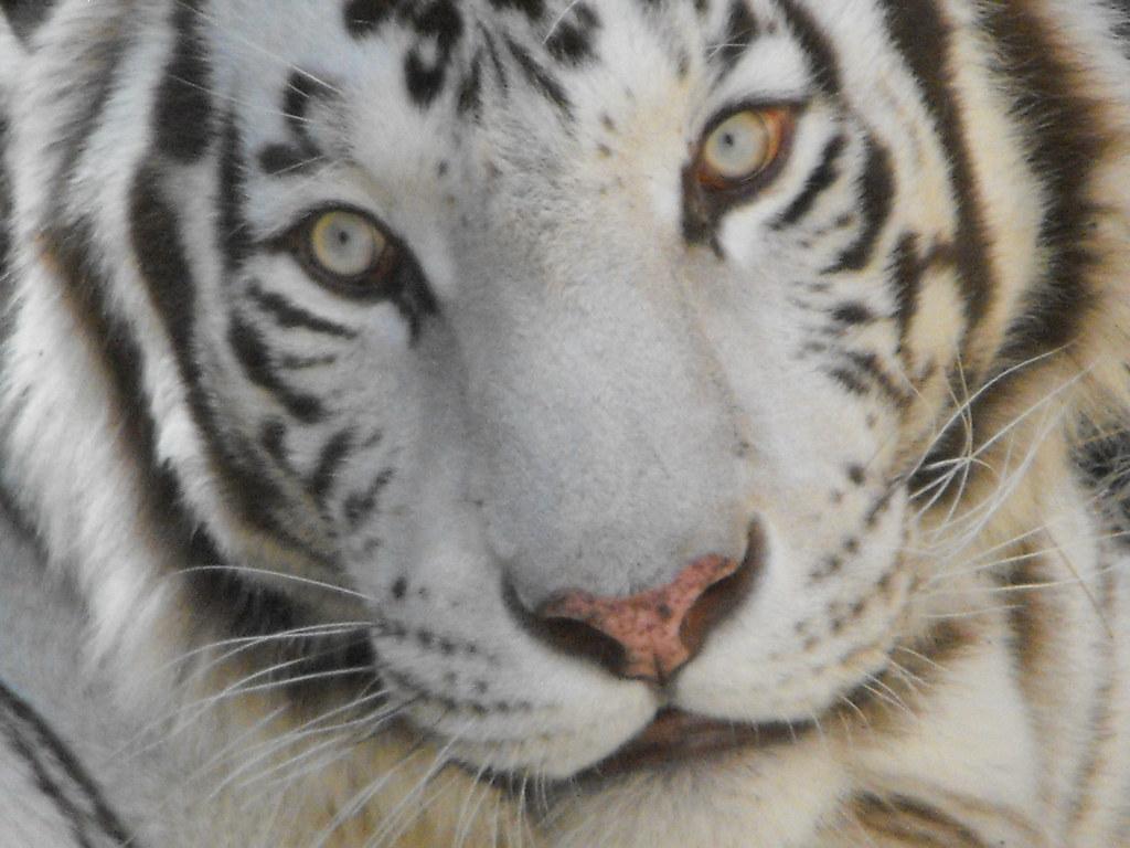 leon y tigre blanco - photo #46