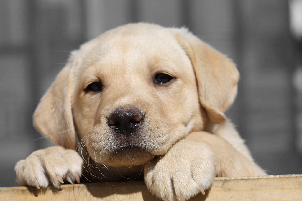 Labrador Puppies The Best Dog Food You Can Buy For Your Lab Puppy