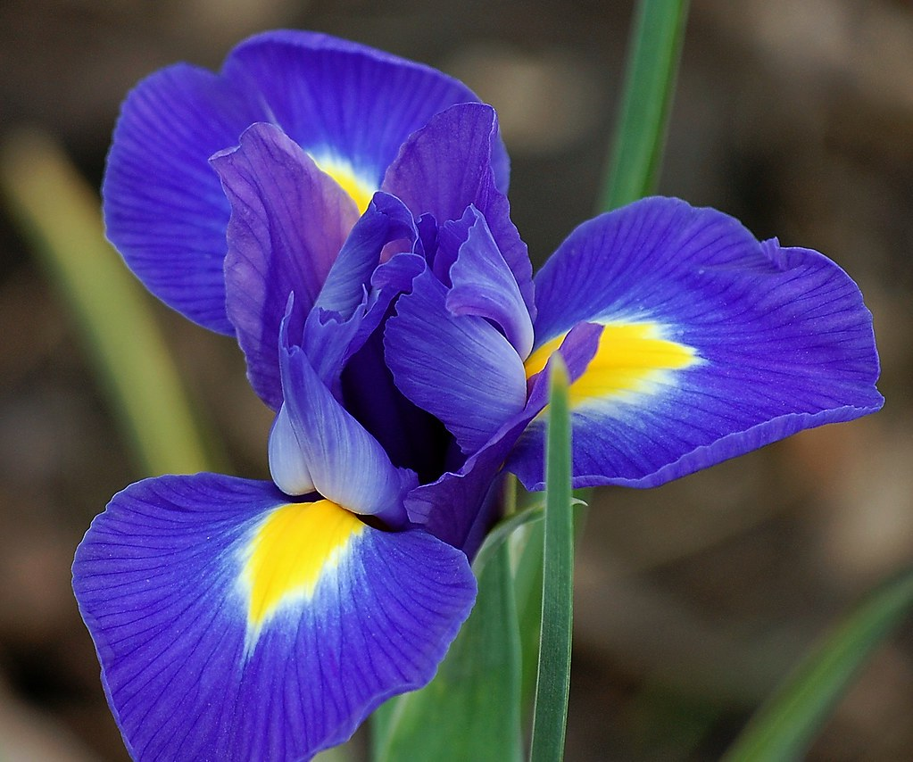 Dsc 9627 E Quot Dutch Iris Blue Magic Quot I Have To Give