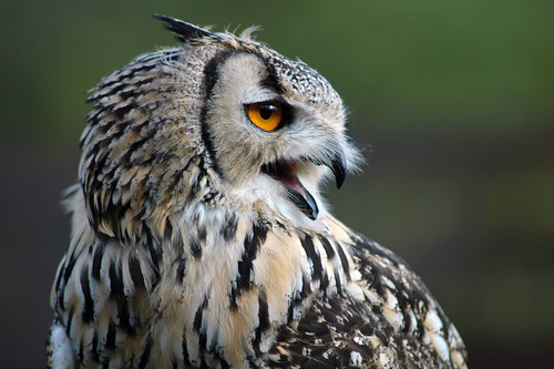 Bengal Eagle Owl | by gifster1983