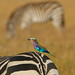 Bokeh Zebra Colourful Bird