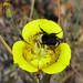 bumblebee hoovering nectar
