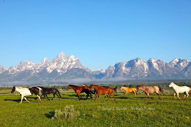 running horse herd grand tetons explored running horse flickr. Black Bedroom Furniture Sets. Home Design Ideas