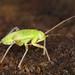 Stinkbug - Lygocoris viridis