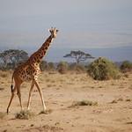 Giraffe at Amboseli