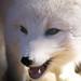 A. Fox