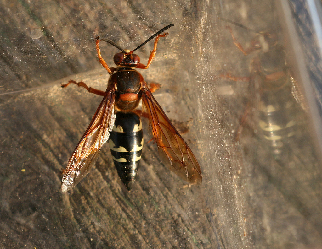 how to get rid of cicada killer wasp