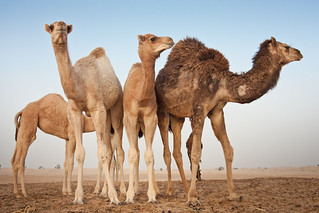 Camels in the Desert | by Jim Boud
