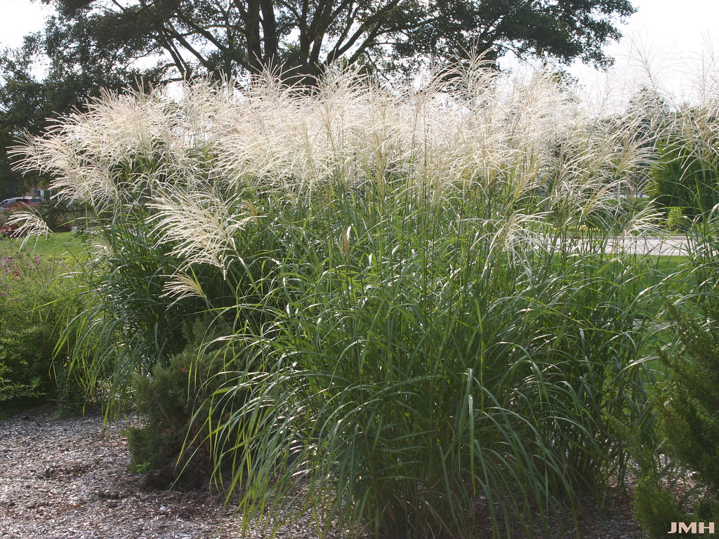 miscanthus sinensis 39 silberfeder 39 04 john hagstrom flickr. Black Bedroom Furniture Sets. Home Design Ideas