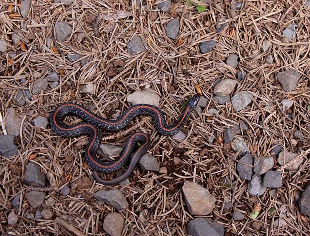Red striped garter snake