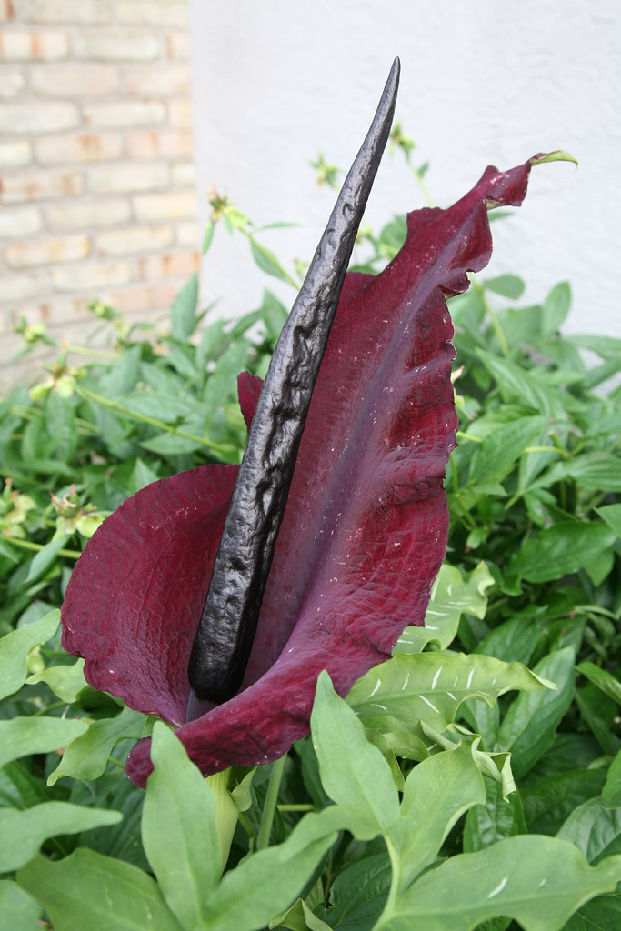 What Is Voodoo >> Dracunculus Vulgaris - stink lily, or snake lily | The ...