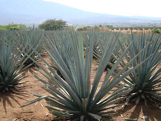Blue Agave, Tequila, Mexico | by jay8085