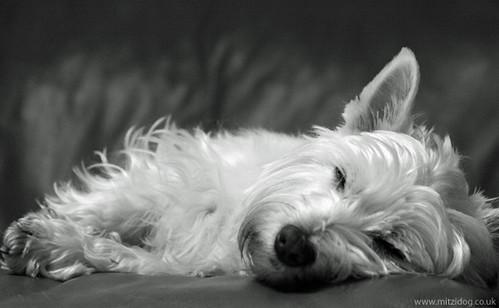 Sleeping Westie Dog Zzzzz Picture Of Our Little Westie