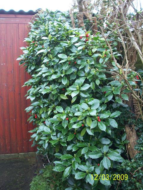aucuba japonica rozannie a wonderful evergreen shrub