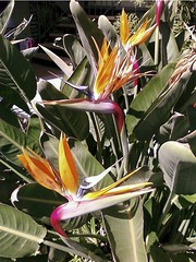 bird of paradise | by pianomom2001