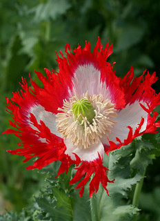 Papaver 'Danebrog' | by anniesannuals