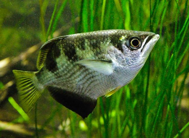 Banded Archer Fish (Toxotes jaculatrix) Flickr - Photo Sharing!