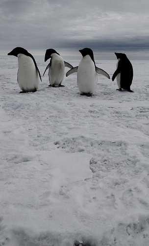 antarctic2 penguins | by Contra Costa Times