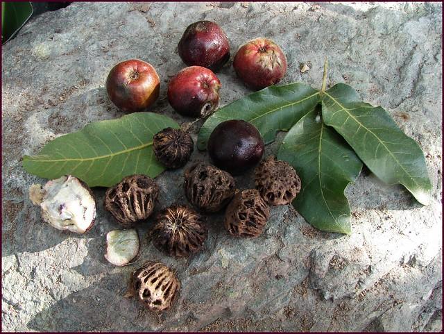 Burdekin Plum Burdekin Plum Tree Fruit