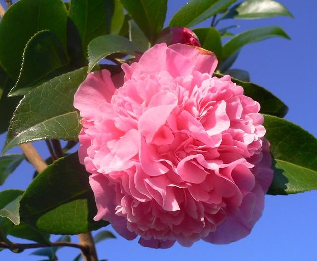 Camelia rosa camellia the camellias is a genus of - Camelia fotos ...