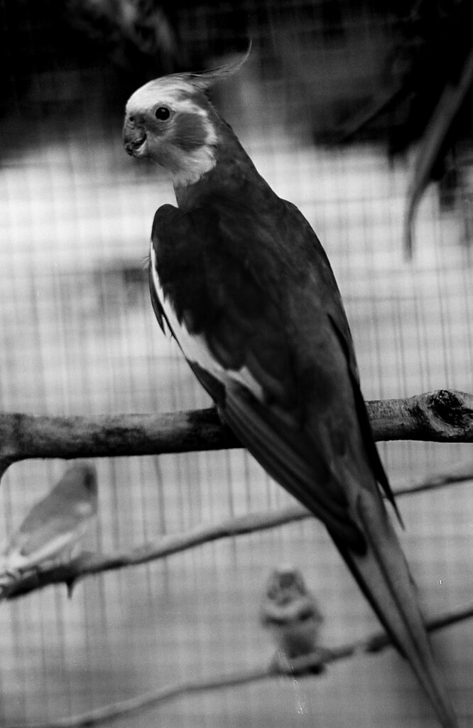 Cockatiel Black And White Ocimum Nate Flickr
