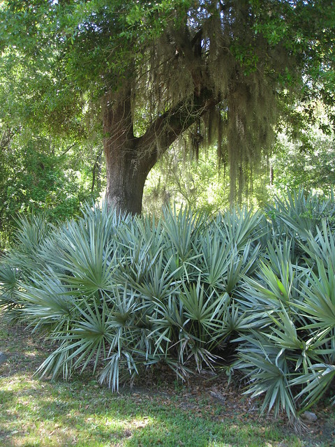 Silver Saw Palmetto Flickr Photo Sharing