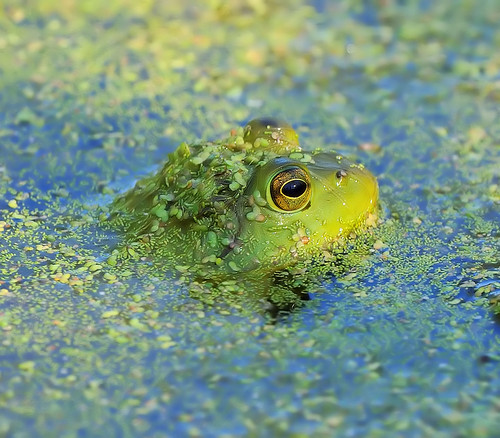 Froggy!!I need your vote Flickr friends. I'm in a contest at The Nature Conservancy. | by JRIDLEY1
