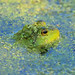 Froggy!!I need your vote Flickr friends. I'm in a contest at The Nature Conservancy.