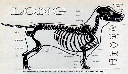 Dachshund Skeleton and Anabomical Parts courtesy of The