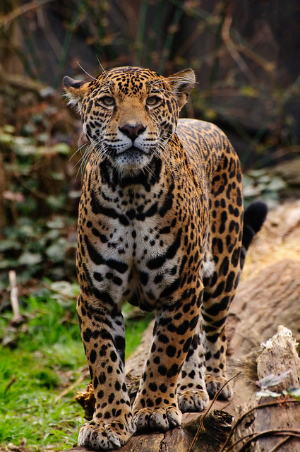 Jaguar Panthera Onca A Jaguar At The Woodland Park Zoo Flickr