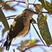Weebill (Smicrornis brevirostris)