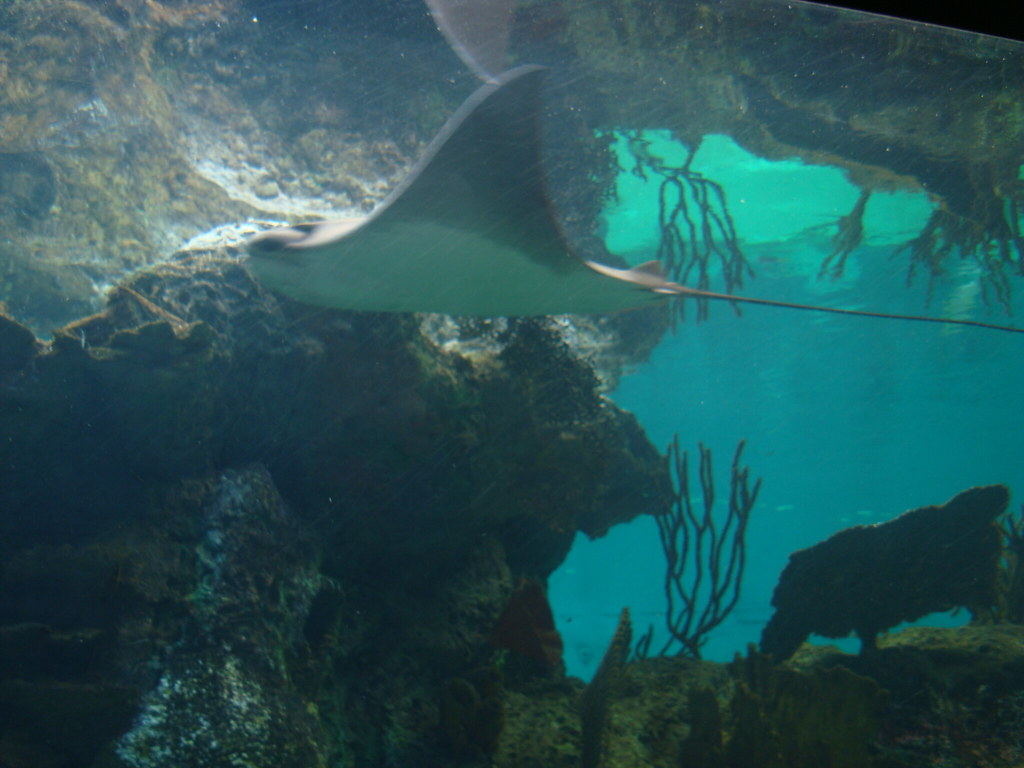 Stingray taken at the new york aquarium in coney island Aquarium in coney island