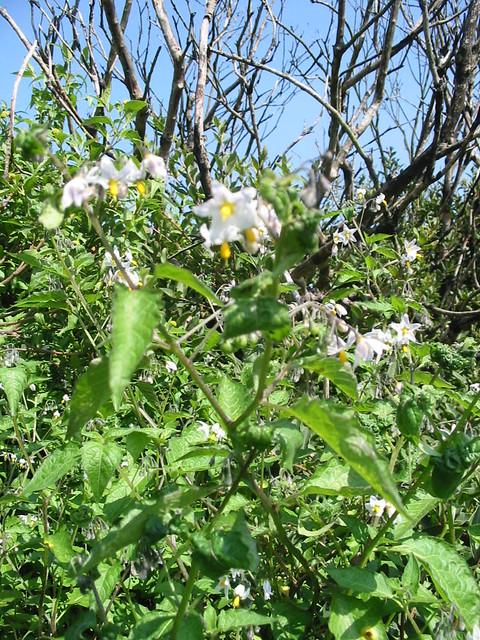 Solanaceae solanum maglia schlecht jard n bot nico for Jardin botanico vina