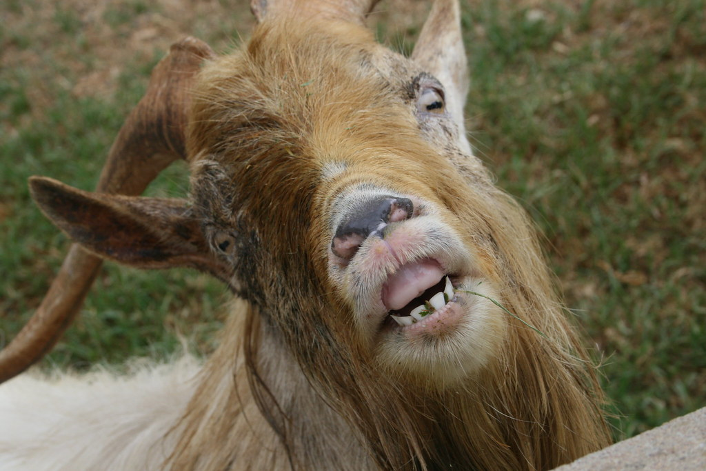 Goat Smiling for U!! | the only goat smile iv ever seen ...