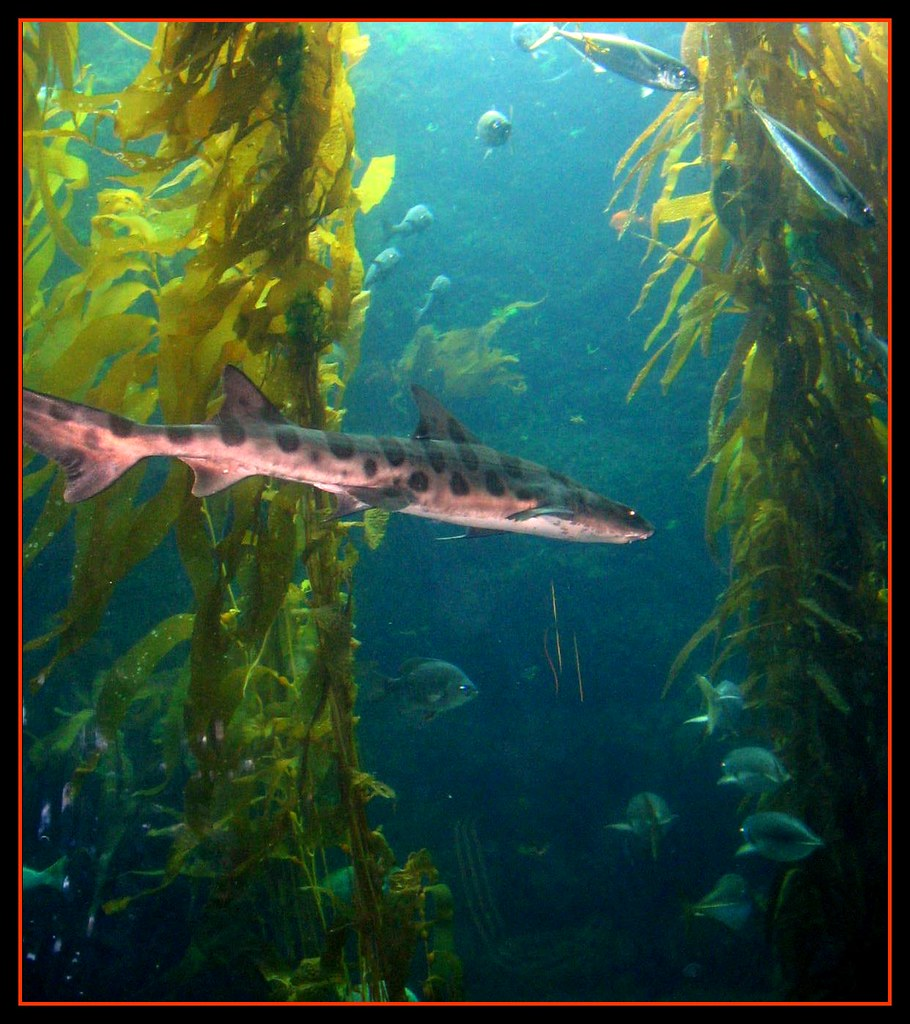 kelp-forest-shark