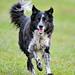 Running collie