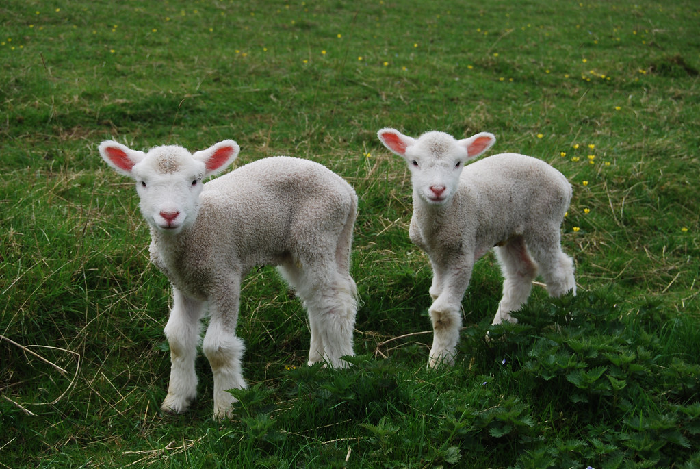 Muffin And Cookie Our Twin Dorset Lambs Muffin And