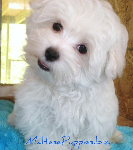 Maltese Puppies CUTE TEACUP PUPPY | Flickr - Photo Sharing!