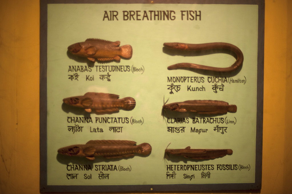 essay on air breathing fishes A new study shows that fish have evolved to live on land many times,  the their  gills for breathing but also absorb some air through the skin.