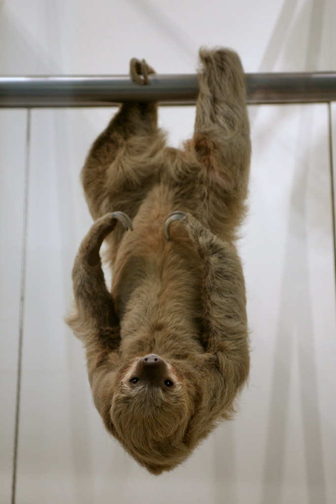 Two Toed Sloth Choloepus Didactylus Found The