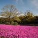 pink no daichi