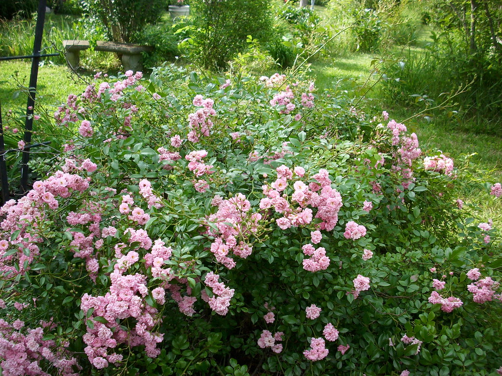 Pink Fairy Rose Bush Peonies Amp Magnolias Flickr