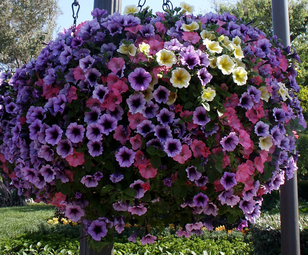 How To Make Flower Baskets For Hanging : Petunia hanging flower baskets honoring porky