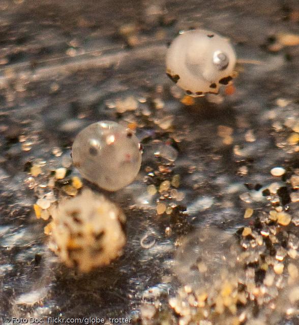 Grunion Eggs