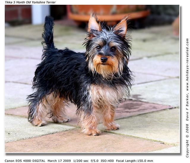 Tikka 5 Month Old Yorkshire Terrier Puppy Tikka 5 Month Ol Flickr